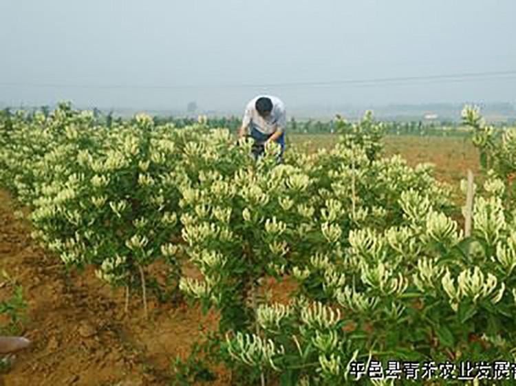 北花一号金银花种植