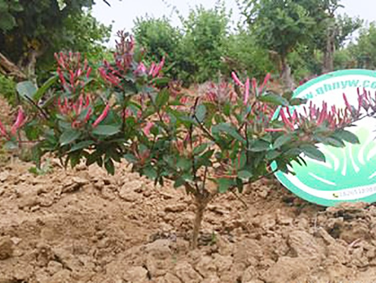 红色木本金银花
