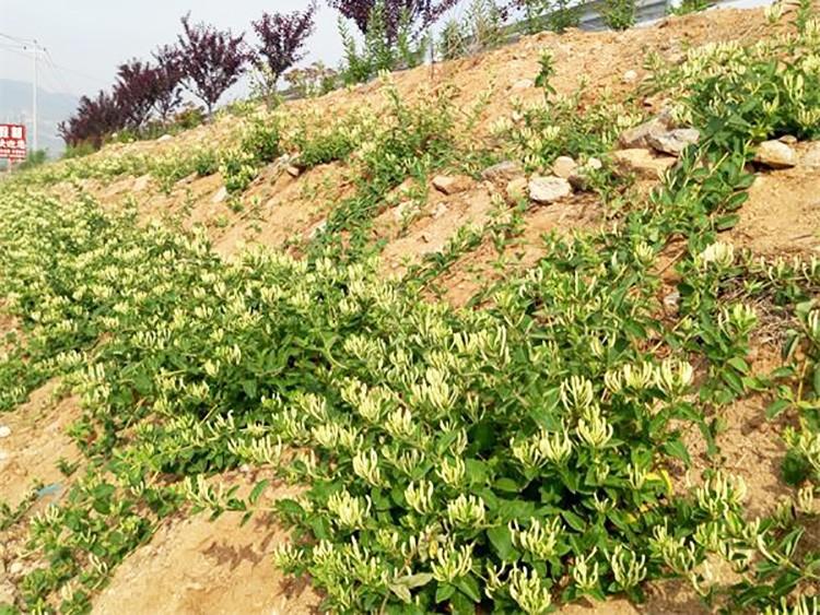 金银花种植